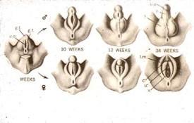 Gallinazo cabeza roja reproduccion asexual en